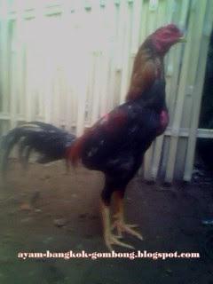 Cara Memilih Indukan Dan Cara Perawatan Ayam Bangkok