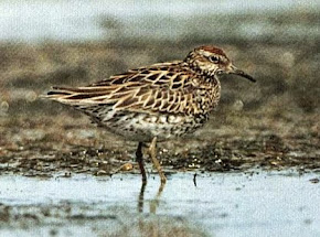 Irish Birding