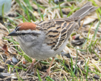 Chipping Sparrow. Photo © Shelley Banks, all rights reserved.