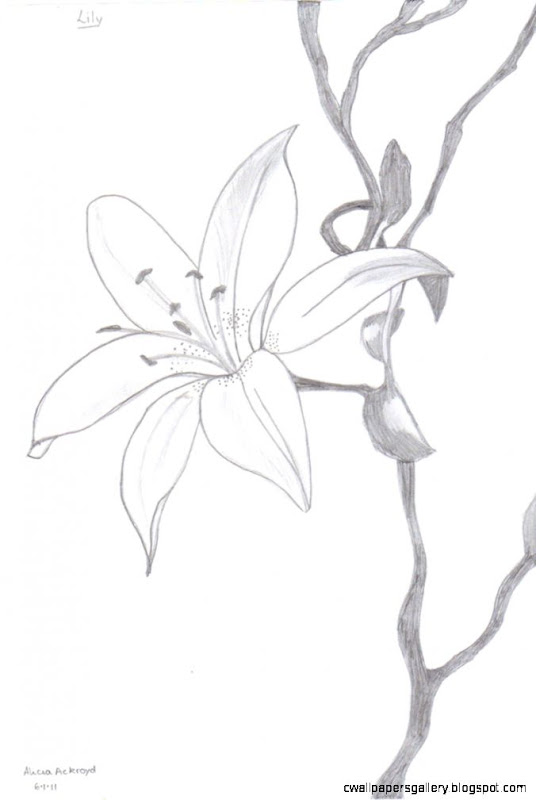 Study of a Lily by Leonardo I had to reproduce a drawing using