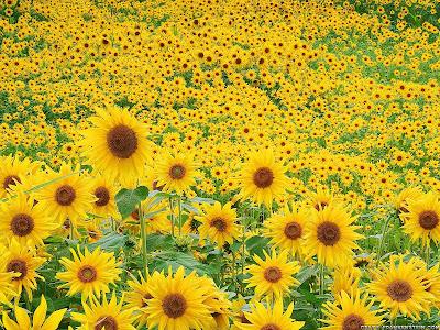 Foto Bunga Matahari Tercantik