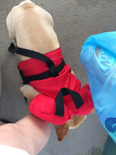 cream french bulldog wearing an infant life jacket to go boating