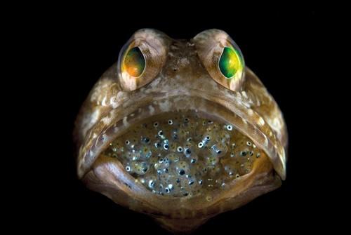 Un pez macho manteniendo incubación bucal