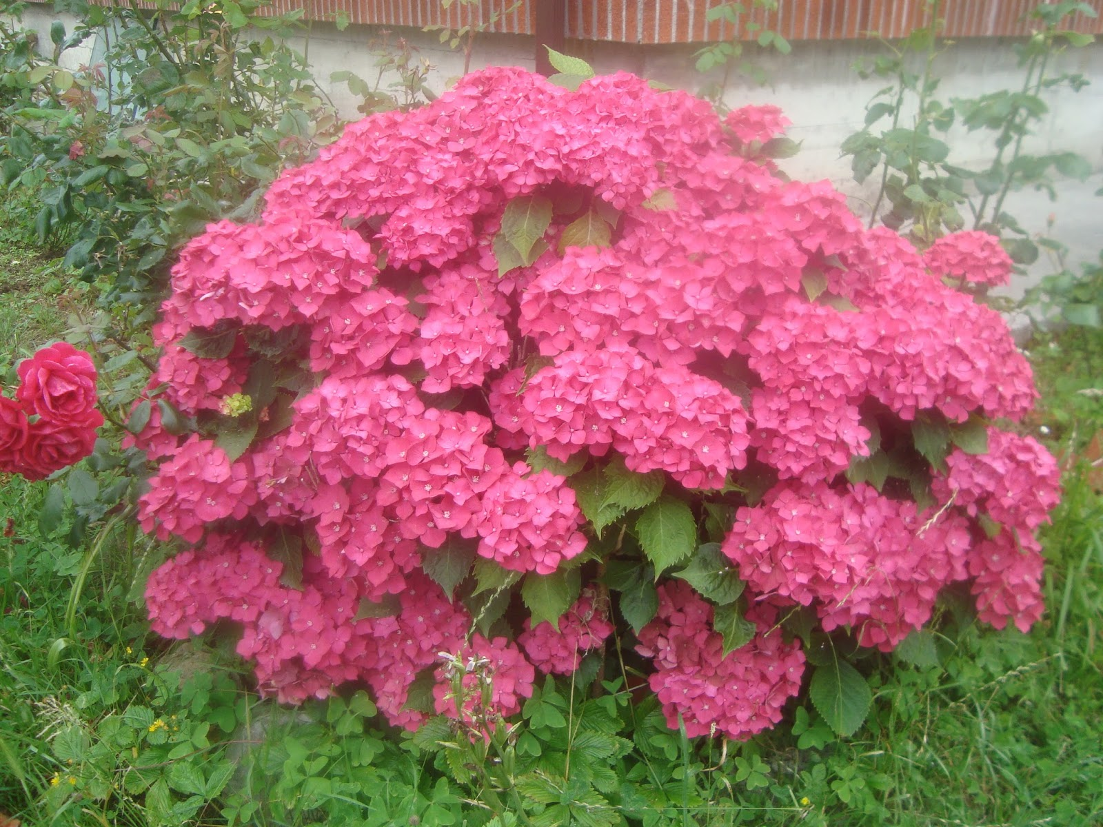 Floresamatxo todo sobre las flores consejos para cuidar - Como podar la hortensia ...