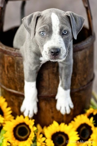 Cute pitbull puppies looking Beautiful
