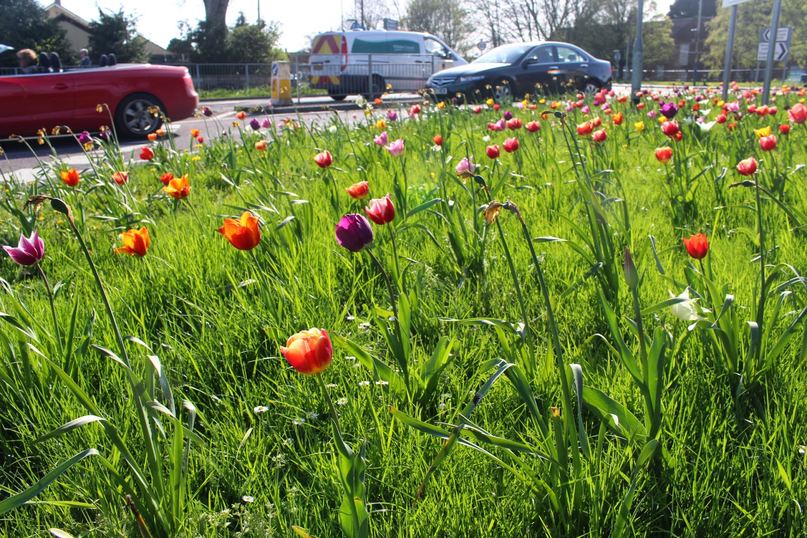 Brightly coloured guerrilla planted tulips on a grass verge in Chippenham