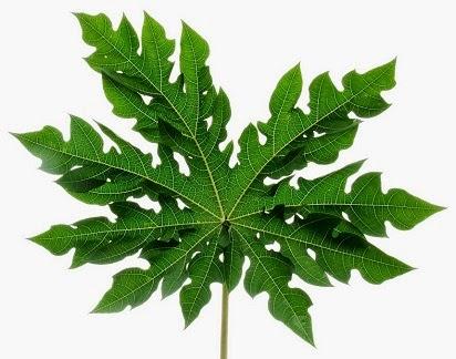 manfaat daun pepaya untuk kesehatan,daun pepaya untuk wanita,daun pepaya untuk wajah,pepaya untuk kulit,pepaya untuk ayam,pepaya untuk ayam aduan,pepaya untuk kecantikan,