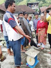Ikan Bawal Seberat 9 KG Dapat (Tabu-tabu) di Danau Toba Hutaimbaru Simalungun