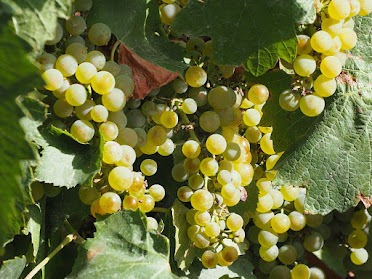 Vineyard Grapes-Baroosa Valley S.A.