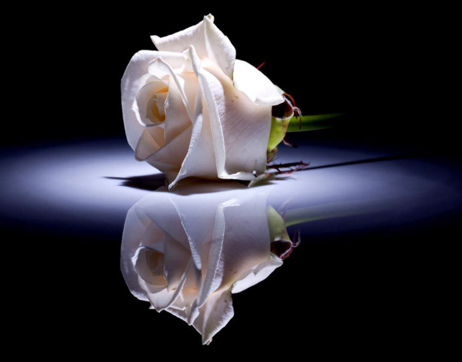 Single White Rose Wallpaper Amazing Wallpapers