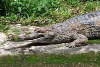 Vertebrata Reptil- Buaya