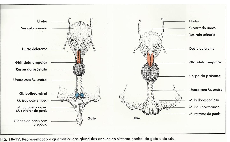 Moderno Anatomía Del Sistema Reproductor Femenino Gato Galería ...