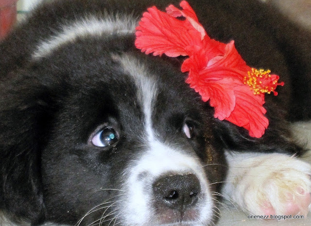 dog with hibiscus flower