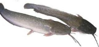 Umpan Jitu Untuk Memancing Ikan Lele