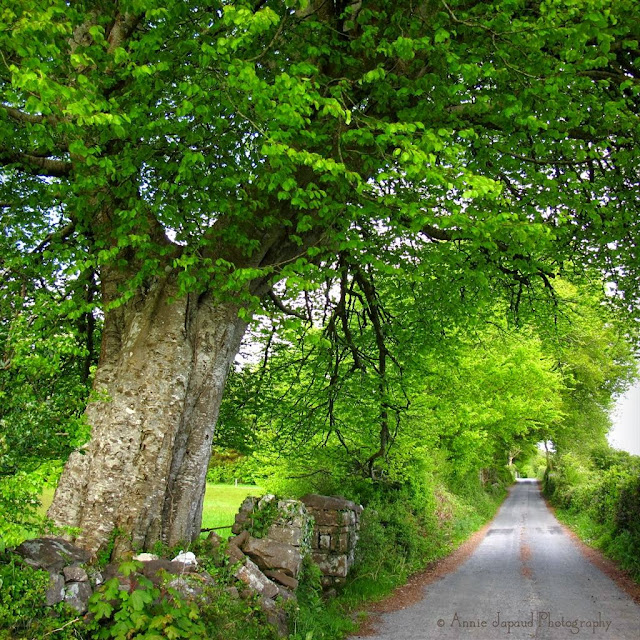 a big tree, a road, a wall, Oughterard, Galway, Ireland
