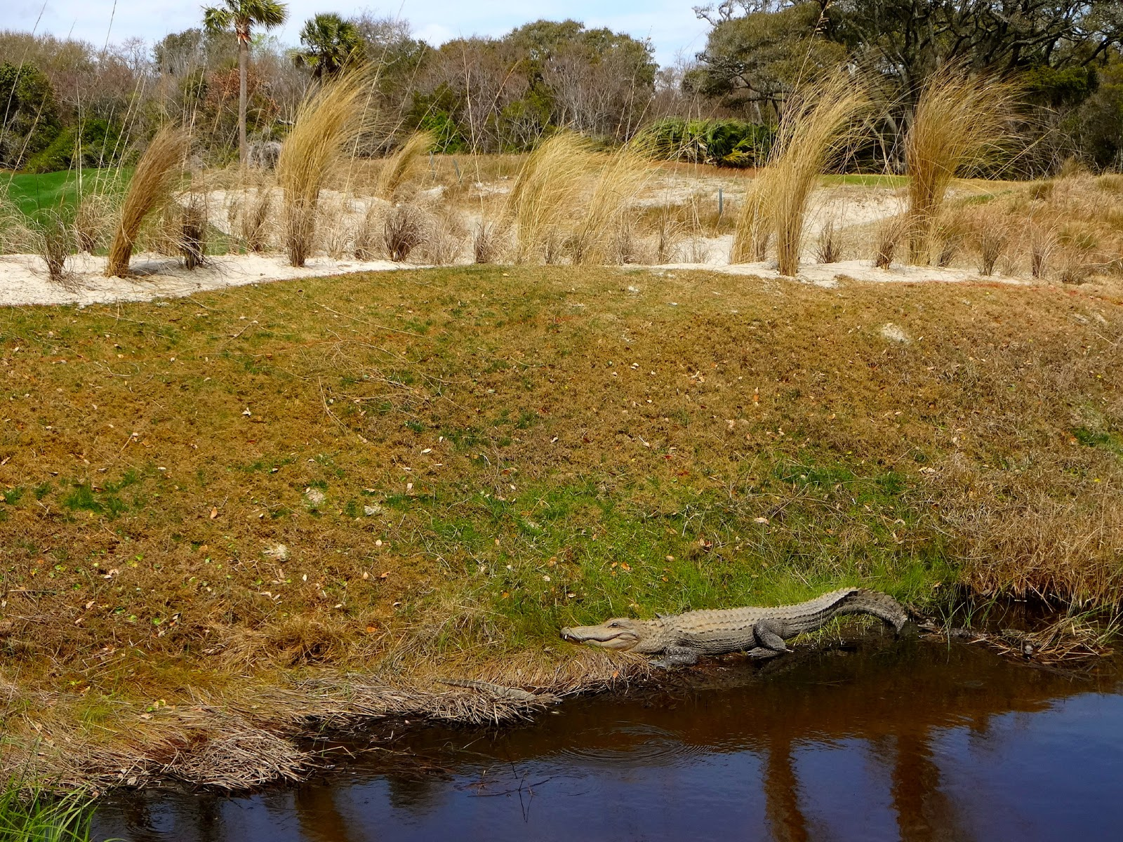 Kiawah Island Alligator