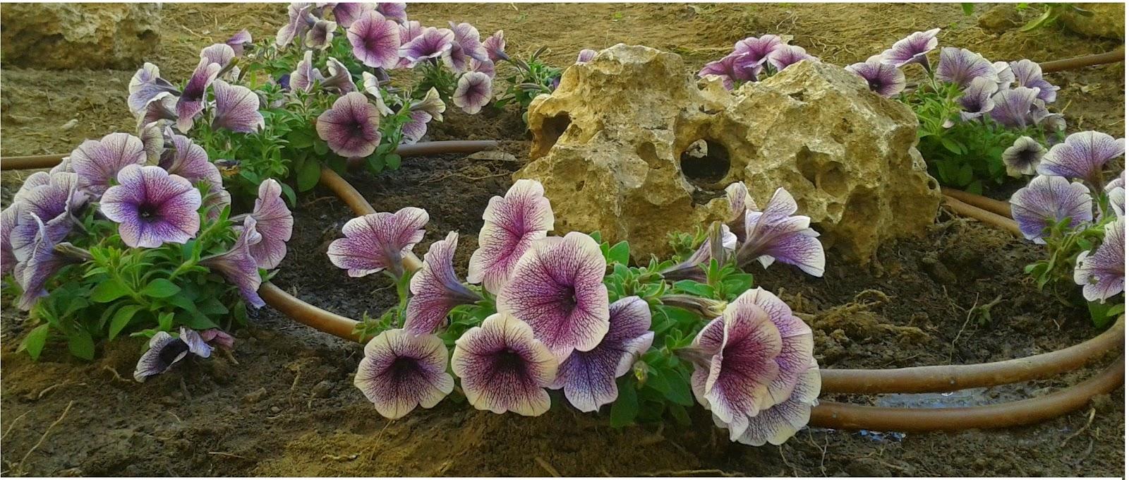 Petunias curiosidades y consejos mantenimiento de - Empresa jardineria malaga ...