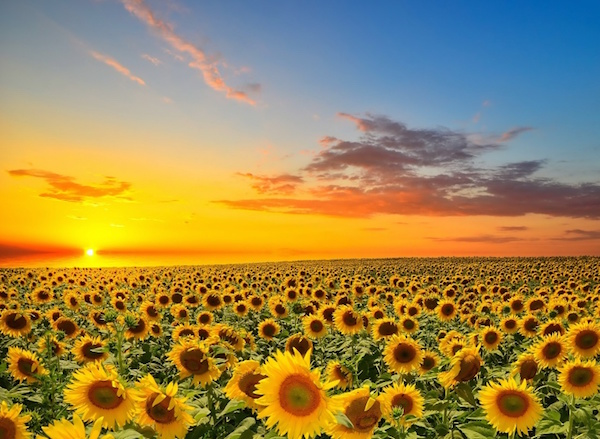 10. Sunset and Sunflowers