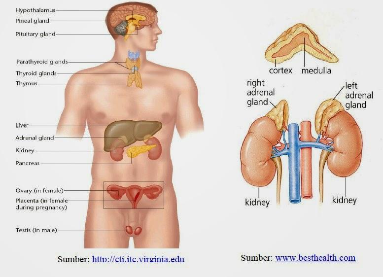 Sistem Endokrin Pada Manusia