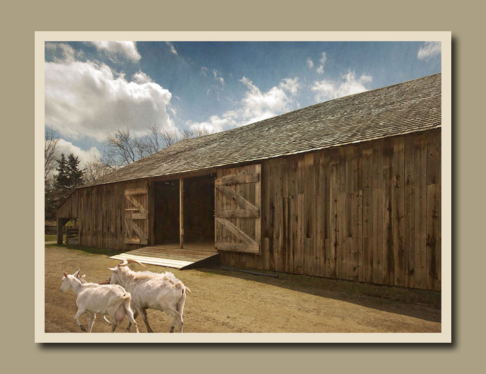 Two goats running by the Stong grain barn at Black Creek Pioneer Village.  Holly Cawfield Photography