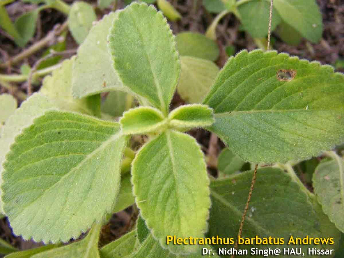 Medicinal Plants: Plectranthus barbatus