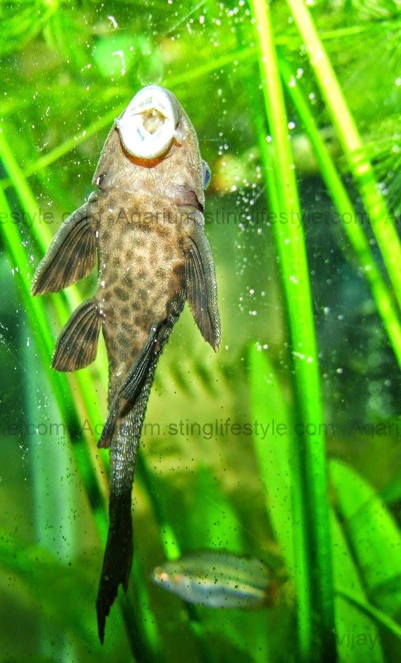 Fish aquarium edmonton - Aquarium Cleaner Fish