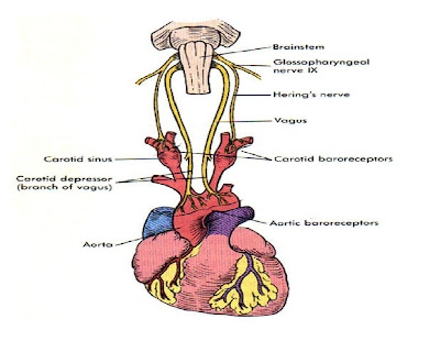 Innervation of baroreceptors