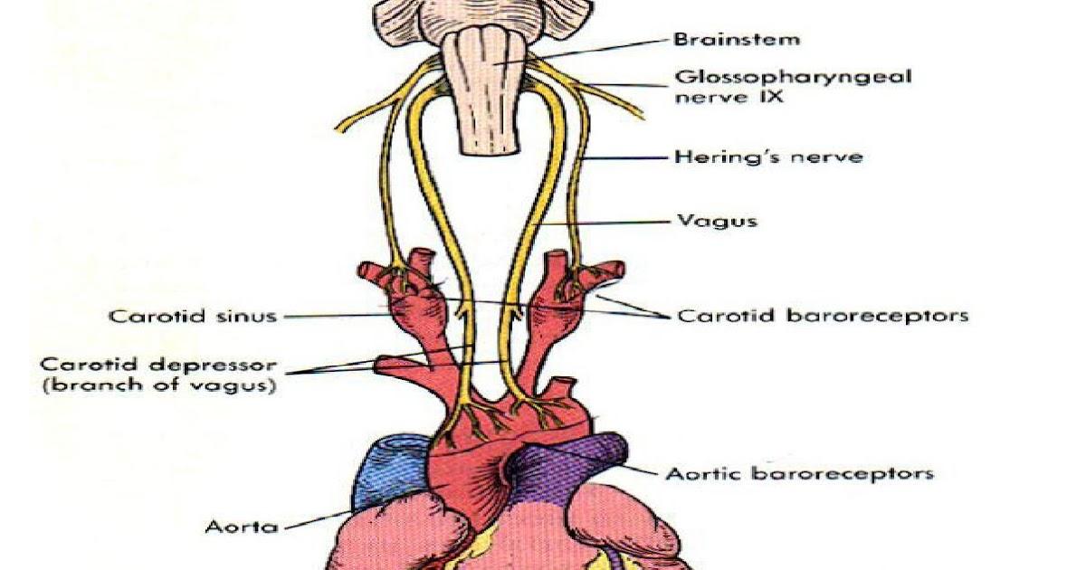 Berühmt Mnemonic Für Anatomie Bilder - Anatomie Ideen - finotti.info