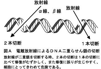 放射線によるDNA切断。一重鎖切断と二重鎖切断