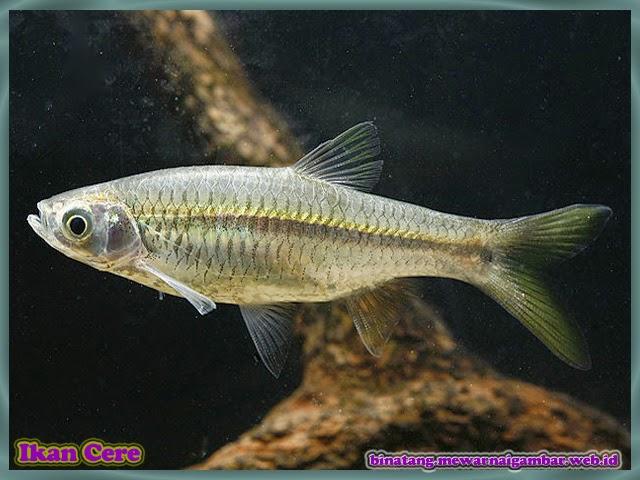 gambar ikan cere