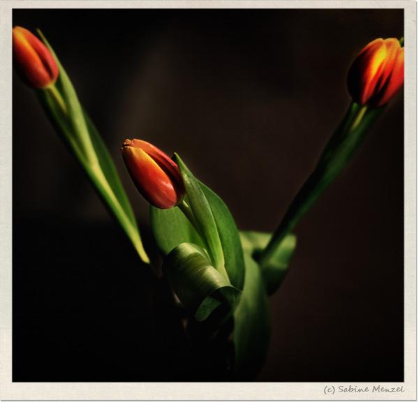Psynopsis Sabine Menzel Victorian Tulips