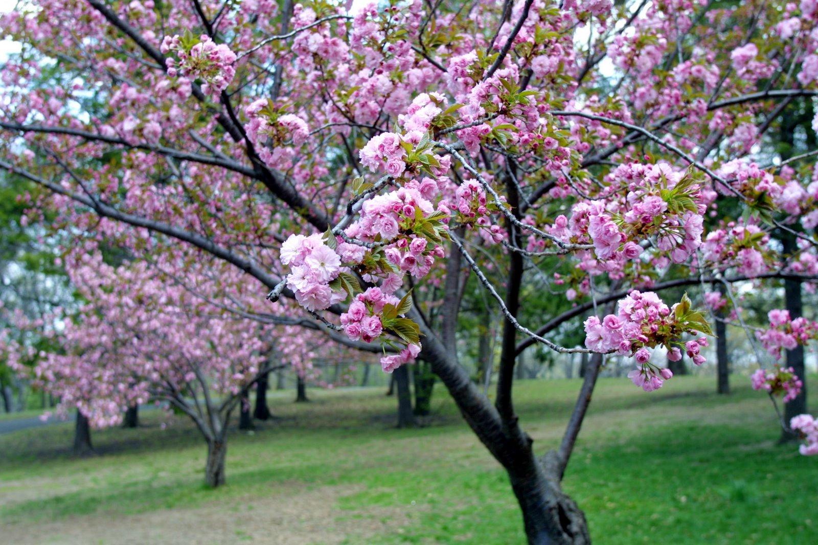 Mavis Fitzpatrick cherry blossom flower wallpaper