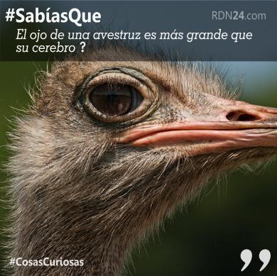 Sabías Que el ojo de una avestruz es más grande que su cerebro