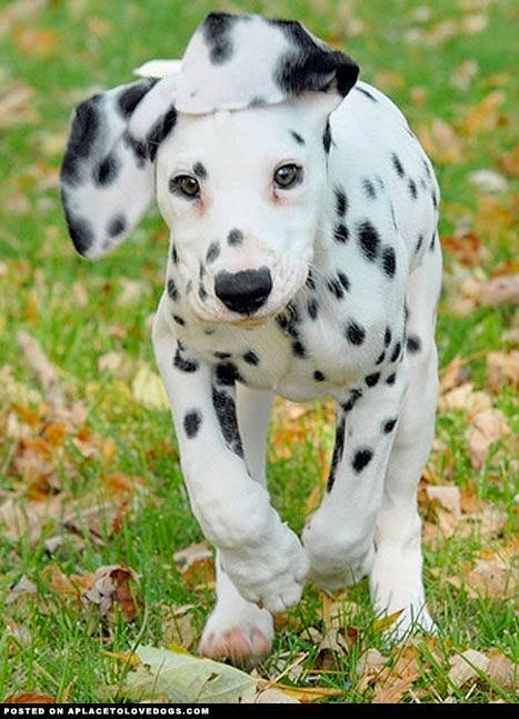 See more Dalmatian Puppies http://cutepuppyanddog.blogspot.com/