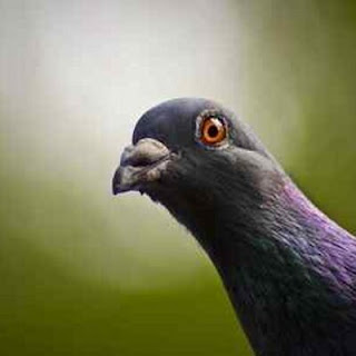 Curious pigeon picture