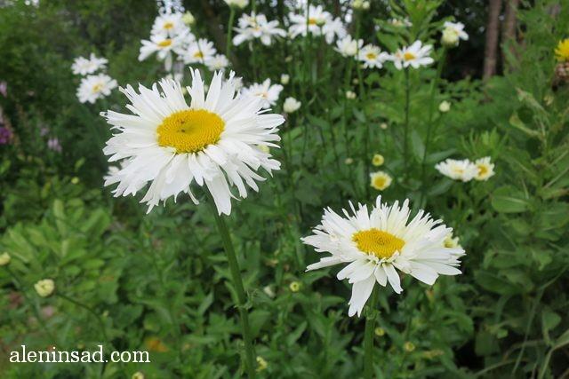 нивяник, Leucanthemum, аленин сад, цветы, июль