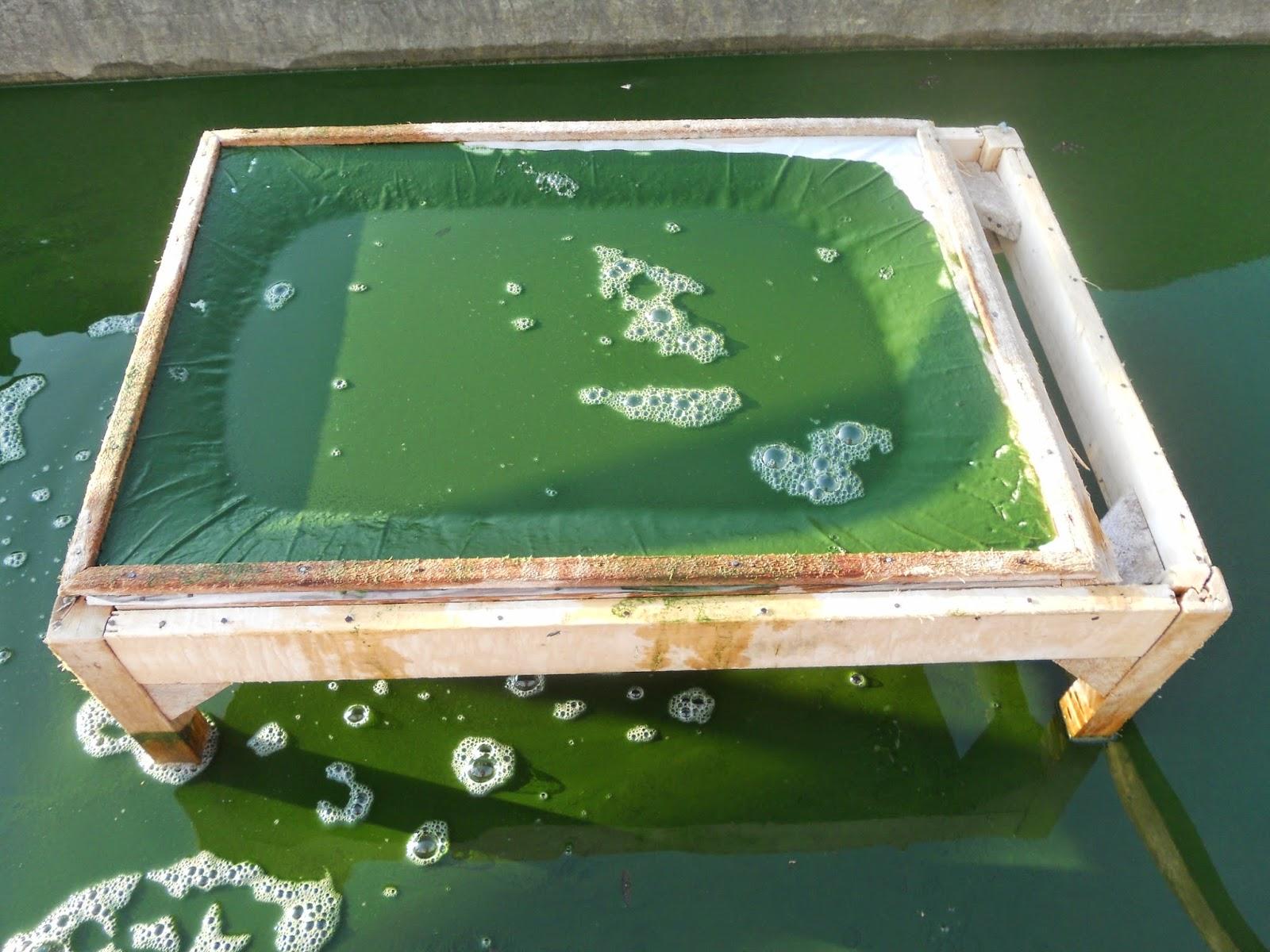 production-de-spiruline-bio-en-aquarium