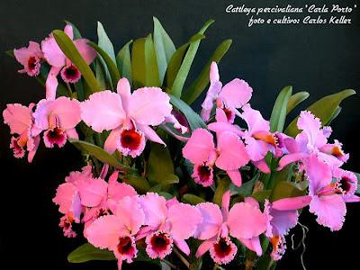 Orquídea Cattleya percivaliana 'Carla Porto'