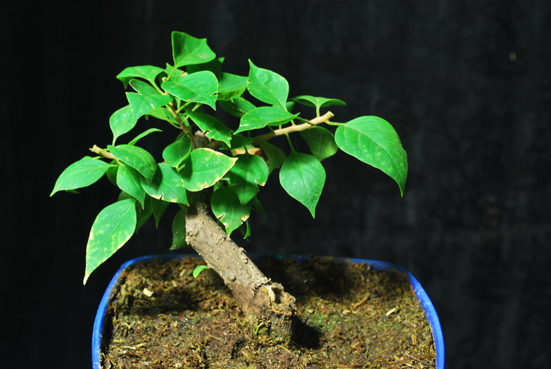 Bougainvillea Shohin Bonsai - Cutting 12