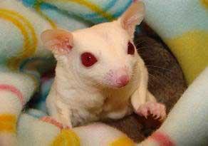 Sugar Grider Albino