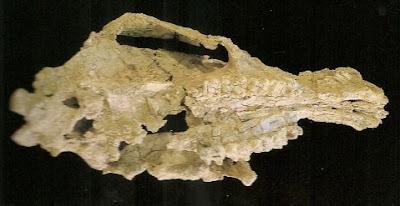 Alkwertatherium skull
