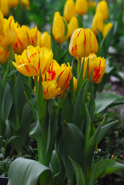 Double early Tulip 'Monsella'