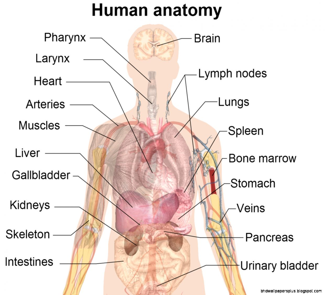human anatomy pictures 821 The Complexity of human organ anatomy