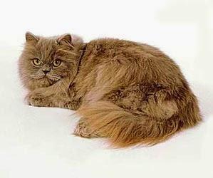 Macam Macam Kucing Exotic Pertanian Dan Peternakanku