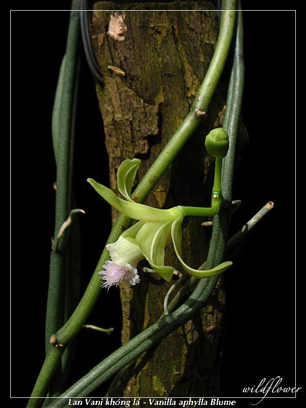 http://3.bp.blogspot.com/-MHzPzS8JVy0/TgClnFtUo-I/AAAAAAAABjs/FRSiIxHSTPU/s1600/Vanilla+aphylla_2041.jpg