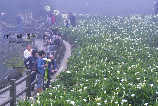 CITYSTORY旅遊部落格: 台北陽明山竹子湖海芋季