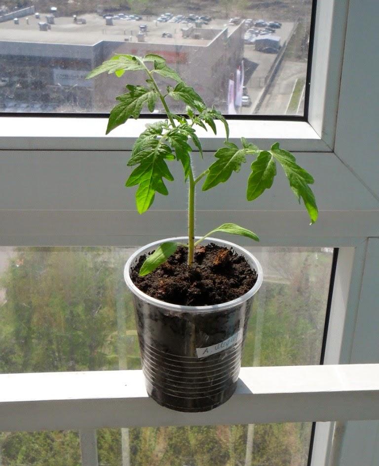 После окончательного прореживания остается только одно растение