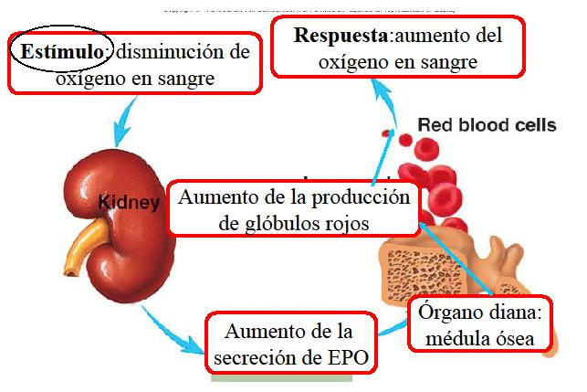 ciclo hormona de crecimiento y winstrol