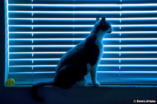 Kingston, a rescue-cat from the Miami Dade Humane Society, peers out the window, between the blinds.