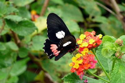 Mimetismo mülleriano (Borboleta Parides anchises nephalion)